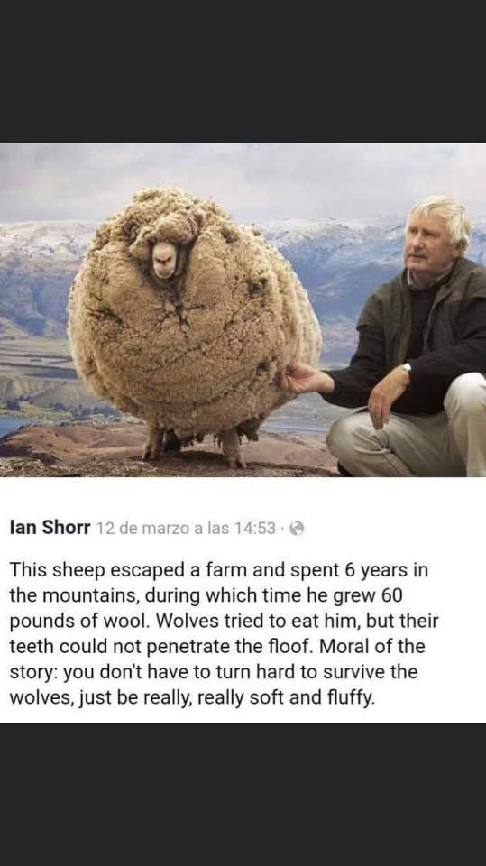 Sheep Floof Immunity