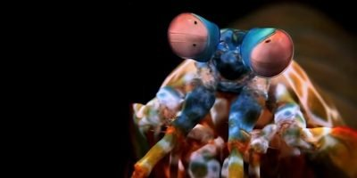 Mantis Shrimp Do